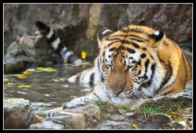 Bathing tiger