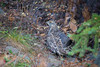 Brief Glimpse of the Dusky Grouse by jeff_a_goldberg