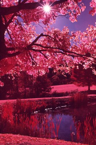 trees light red lake color film nature leaves rural 35mm landscape ir 50mm pond natural pennsylvania side country slide pa infrared epson positive expired e6 nikonn90s honesdale afnikkor50mmf14d dyberry kodakaerochrome epsonv600 epsonperfectionv600