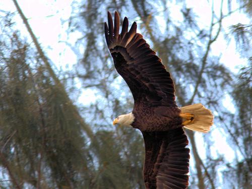 Bald Eagle female departs 03-20170303