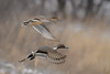 A pair of Northern pintail ducks (Anas acuta) fly over the Platte River near Wood River, Nebraska by diana_robinson