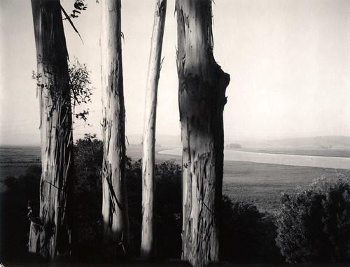 eucalyptus trees blackpoint petaluma river silver bw film polaroid 664 automatic250 roidweek2017