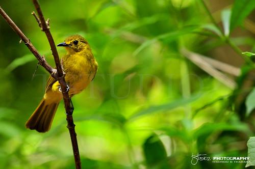 bulbull nikon d90 sinharaja sinharajarainforest birding birdsofsrilanka rainforest yellowbrowedbulbul srilankabirds yellow photography