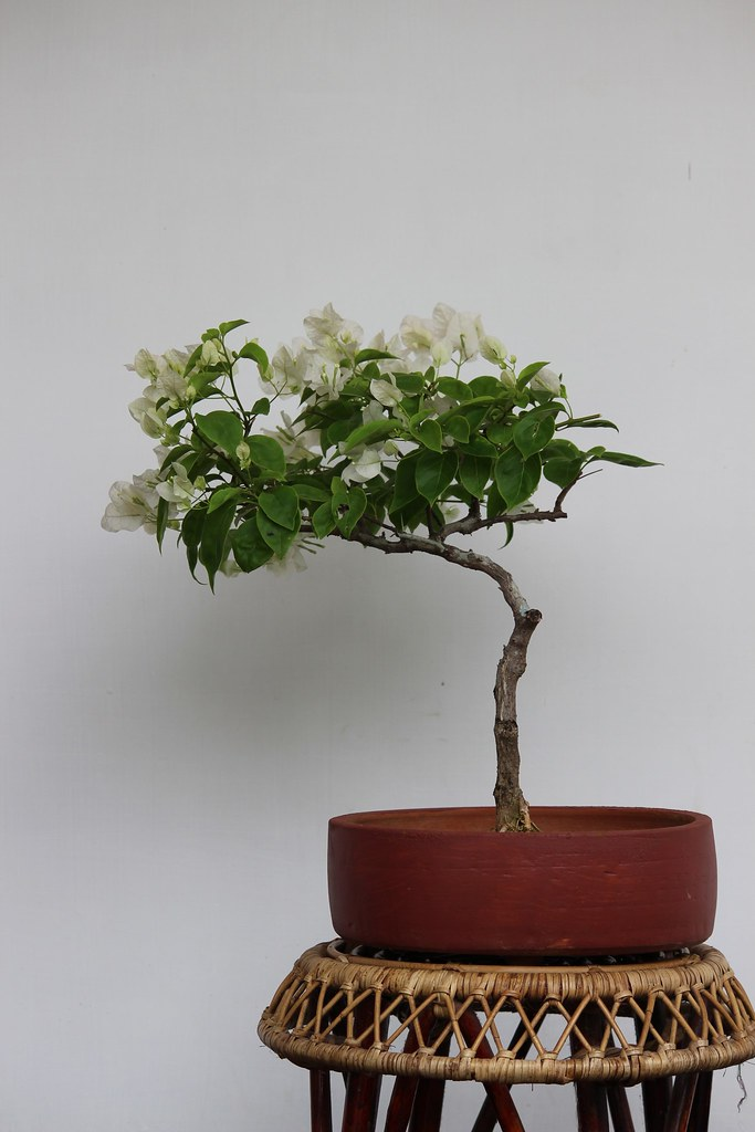 Bougainvillea with white flowers -