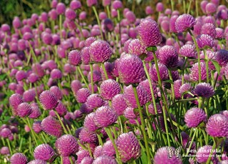 Globe Amaranth. Gomphrena haageana. | by Swallowtail Garden Seeds