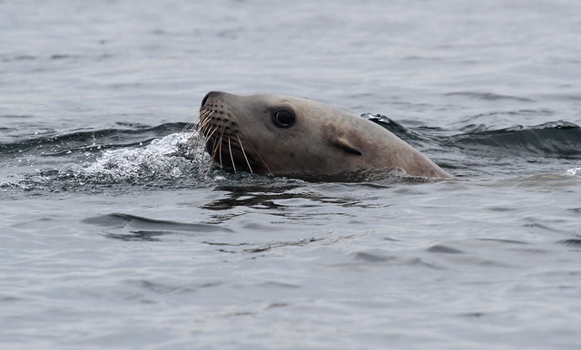 Sea-lion head swimming in the water