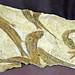 Greece, Macedonia, Drama region, Paranesti, natural history museum, fish fossils 12 million years old