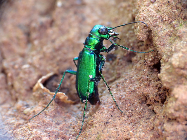 Six-spotted Tiger Beetle Ovipositing