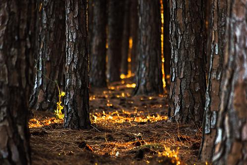 trees light gold australia burleighheads allieca