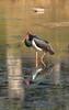 Black Stork by RedAbbott
