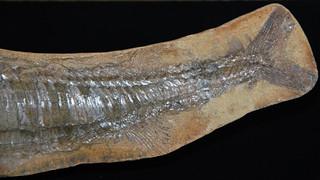 Vinctifer comptoni (fossil fish) (Santana Formation, Lower Cretaceous; northeastern Brazil) 5