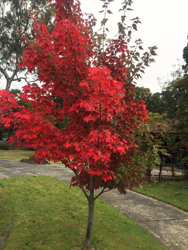 First Dwarf Maple Tree To Turn Red On My Street Taken On T Flickr