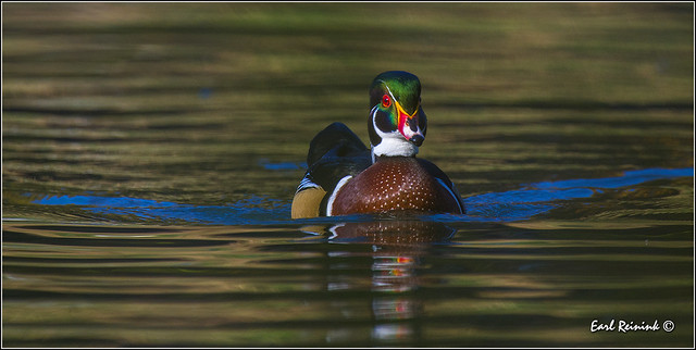 Wood Duck in autumn reflections