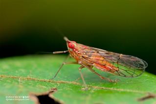 Planthopper (Delphacidae) - DSC_5481