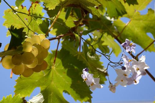 Solanum jasminoides - faux-jasmin 15631071605_812d52078d