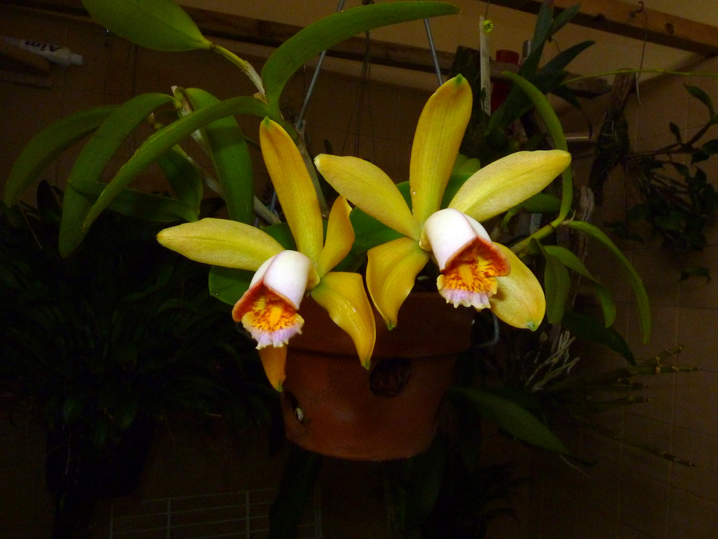 Cattleya Forbesii Equilab Species Orchid 3rd Bloom 1st Flickr