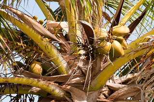 Cocos Nucifera | by Samantha from Belgium