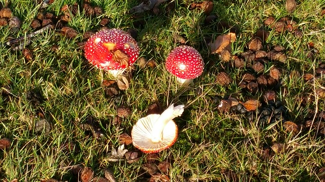 Amanita muscaria out in the wild