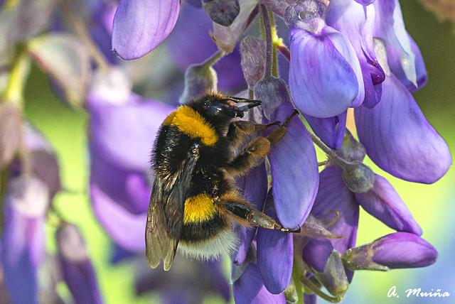 Bee feeding on a blue Glycine (Wisteria sinensis)