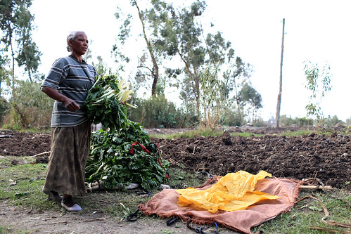 Woman bundles cabbage leaves to sell at market
