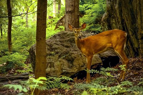 wood trees light rocks ngc doe deer ferns