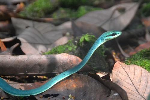 Green Snake Bioko   by curtisfrommichigan