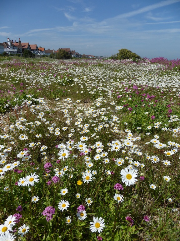 Kingsdown Beach flowers