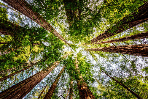 california trees unitedstates perspective redwood bouldercreek bigbasinredwoods