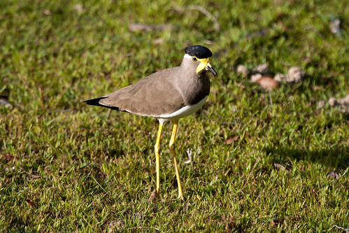 Yellow-wattled Lapwing (Vanellus malabaricus) | by ipin-by-the-sea