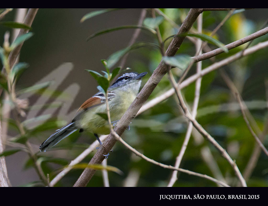 Chorozinho-de-asa-vermelha (Rufous-winged Antwren)