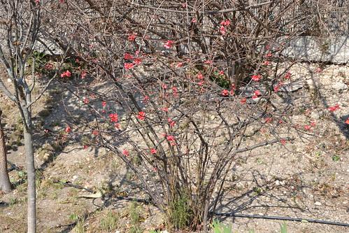Chaenomeles japonica - cognassier du Japon et hybrides  31915183433_9b7975a4f6