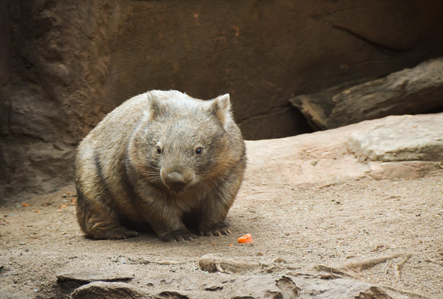 Wombat (Vombatidae)