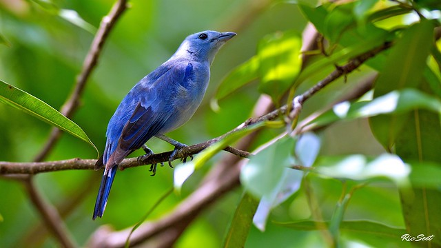 Blue Tanager