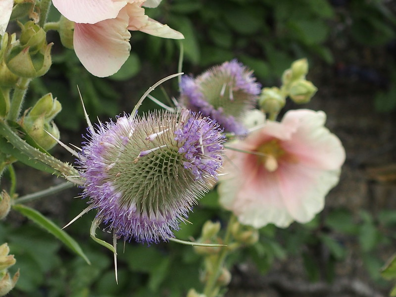 Teasel in flower