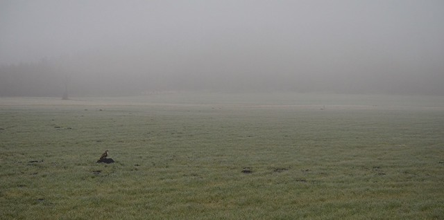 Buzzard in the fog