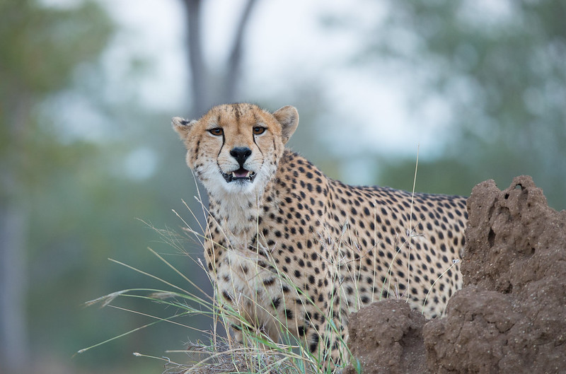 Cheetah mum looking for prey