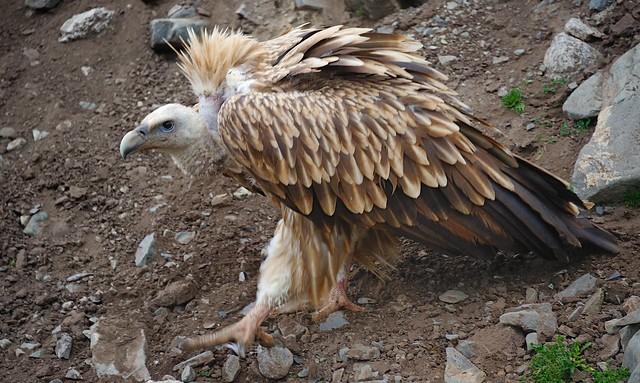 Himalayan Vulture, Tibet 2014