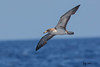 Cory's Shearwater by Jmawnster