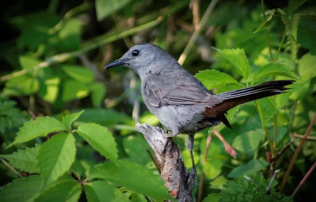 Moqueur chat --- gray catbird ---  mímido gris