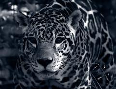 jaguar duotone s