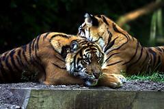 Tigres s