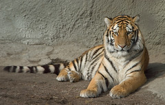 Bored Tiger