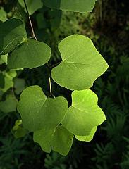 green leafy hearts