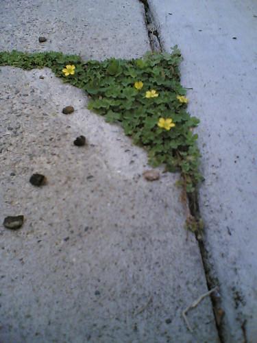 Sidewalk Crack Flowers