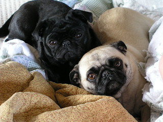 Chocolate and Vanilla Pugs | by inajeep