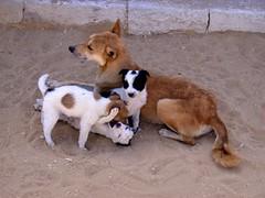 Dogs at Saqqara