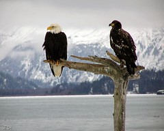 Old and young eagle on perch   by Aleutian Fox