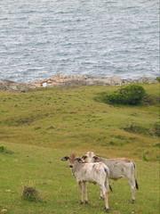 Coastal Cows