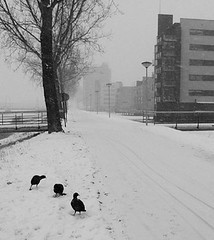 coot in snow 2