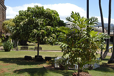 Kukui nut & Bread tree
